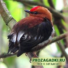 птица манакин