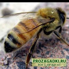 про пчелу
