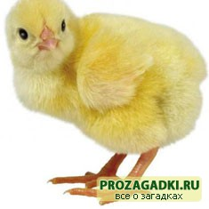 Про цыплёнка
